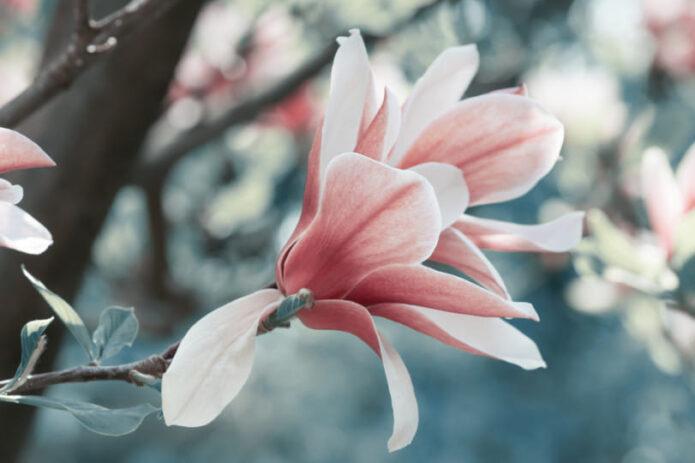 Tūkstančio magnolijų žydėjimas Radvilų krašte!