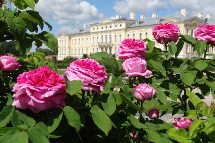 Rožių žydėjimas Rundalėje, šaltalankių sodas, smėlio skulptūros