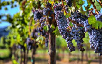 Garsusis Sabilės vynuogynas, Kandava ir Abavos vynas!